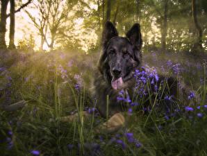 Hintergrundbilder Hunde Shepherd Gras Tiere