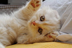 Bilder Hauskatze Schottische Faltohrkatze Katzenjunges Weiß Pfote Tiere