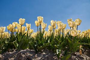 Fondos de escritorio Tulipanes Blanco flor