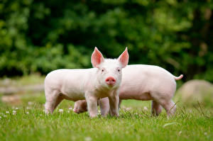 Pictures Domestic pig Cubs 2 Grass