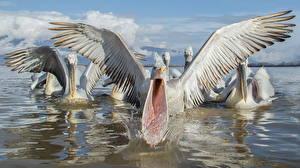 Hintergrundbilder Pelikane Wasser Flügel