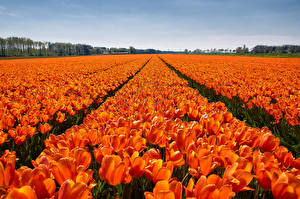 Images Fields Tulips Many Orange Flowers