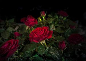 Wallpaper Rose Red Drops Foliage Flowers