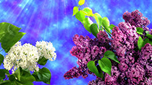 Bilder Syringa Ast Lichtstrahl Blumen