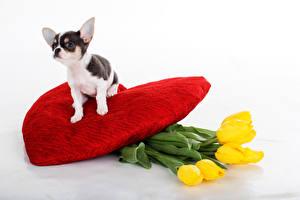 Photo Dogs Tulips Chihuahua Heart Yellow animal