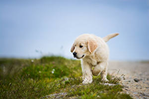 Photo Dog Grass Retriever animal