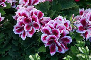 Images Geranium Closeup flower