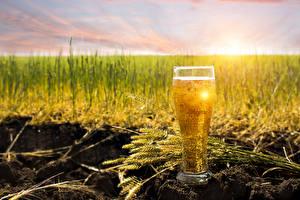 Hintergrundbilder Getränke Bier Acker Trinkglas Ähre Lebensmittel