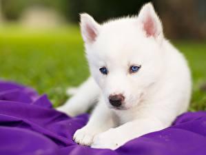 Papel de Parede Desktop Cão Husky siberiano Filhote de cachorro Branco um animal