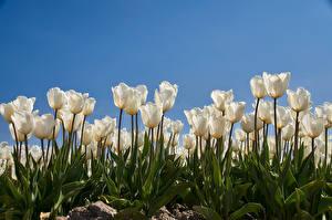 Fondos de escritorio Tulipa Muchas Blanco Flores