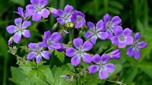 Photo Geranium Closeup Violet flower
