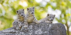 Fotos Schneeleopard Jungtiere Drei 3 Tiere