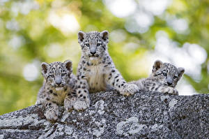 Fotos Irbis Jungtiere Drei 3 Tiere