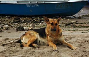 Hintergrundbilder Hunde Shepherd Sand Natur