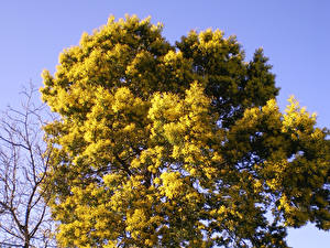 Fotos Mimosen Ast Bäume Blumen
