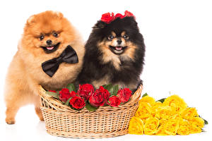 Images Dog Roses Spitz 2 Wicker basket Bowknot White background Bow tie animal