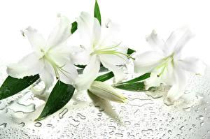 Hintergrundbilder Lilien Weiß Blumen