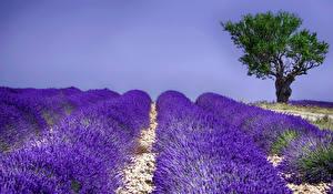 Hintergrundbilder Felder Lavendel Bäume Natur