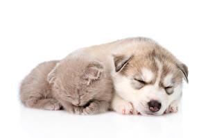 Papel de Parede Desktop Cachorro Gatos Husky siberiano Gatinhos Cachorrinho Dorme Dois Fundo branco Animalia