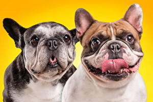Pictures Dog Bulldog Two Snout Colored background animal