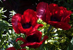 Hintergrundbilder Mohn Großansicht Rot Blumen