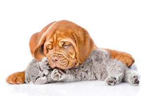 Picture Cat Dog Two Kitty cat Puppies Dogue de Bordeaux Sleeping White background Animals