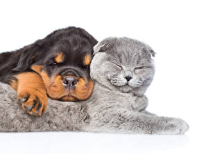 Images Cat Dog Puppies Kitty cat Rottweiler 2 Sleeping White background Animals