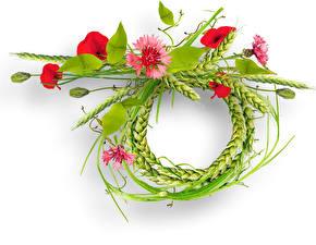 Hintergrundbilder Mohn Kornblume Weißer hintergrund Design Ähre Blumen
