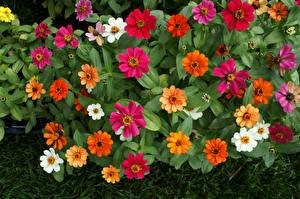 Fotos Zinnien Großansicht Blüte