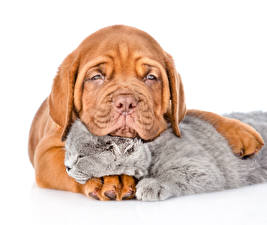 Picture Dogs Cats Puppies Kittens Dogue de Bordeaux Two White background animal