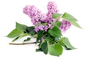 Hintergrundbilder Flieder Großansicht Ast Weißer hintergrund Blatt Blumen
