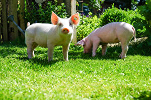Pictures Domestic pig Two Grass