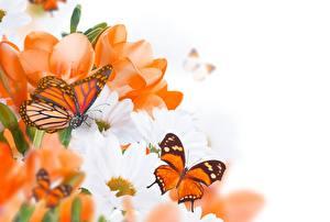 Bilder Schmetterling Monarchfalter Orange