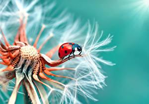 Picture Dandelions Ladybird Closeup Macro flower