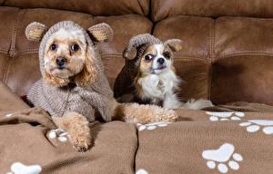 Bilder Hunde Kleidung 2 Zwei Uniform Chihuahua Ein Tier