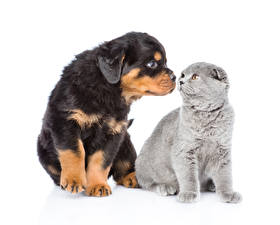 Wallpapers Cat Dog Puppy Kitty cat Rottweiler Two White background Animals