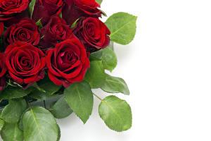 Bilder Rosen Hautnah Bordeauxrot Blattwerk Weißer hintergrund Blüte