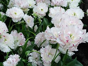 Fondos de escritorio Tulipas De cerca Blanco flor