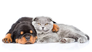 Pictures Dogs Cats 2 Rottweiler Sleep White background animal