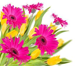 Fotos Gerbera Großansicht Rosa Farbe Weißer hintergrund Blüte