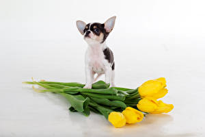 Desktop wallpapers Dogs Tulip Chihuahua Yellow White background Animals Flowers
