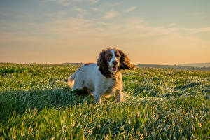 Pictures Dog Spaniel Grass animal