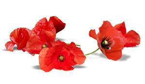 Hintergrundbilder Mohn Großansicht Rot Weißer hintergrund Blumen