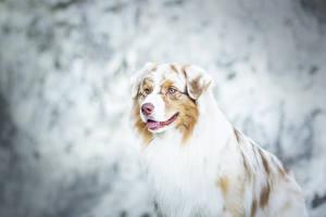 Bilder Hunde Shepherd Australian