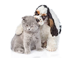 Picture Dogs Cats Two Spaniel White background Cocker Spaniel animal