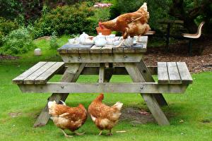 Hintergrundbilder Vogel Haushuhn Drei 3 Tisch Gras ein Tier