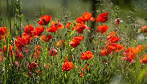 Bilder Mohn Rot Blumen