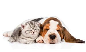 Image Cat Dogs Two Basset Hound White background animal