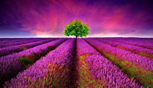 Bilder Acker Lavendel Bäume Blumen