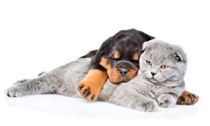 Image Dog Cats White background Rottweiler Sleep 2 Animals